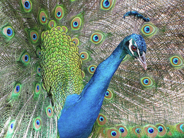 Photograph - Peacock by Bob Slitzan