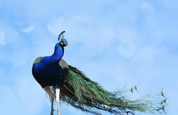Photograph - Peacock Bokeh by Fraida Gutovich