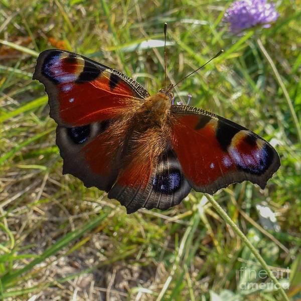 Photograph - Peacock Butterfly by Jean Bernard Roussilhe