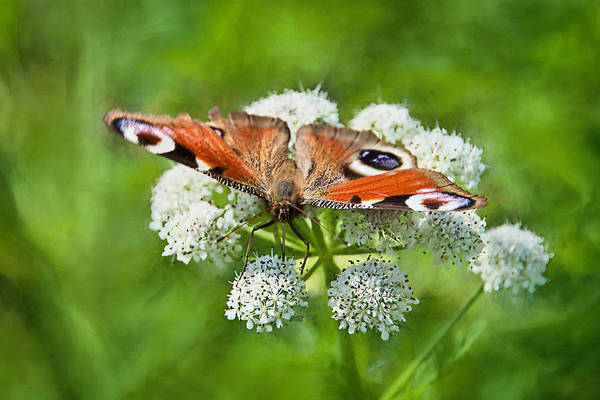 Wild Chervil Wall Art - Photograph - Peacock Butterfly by Susie Peek