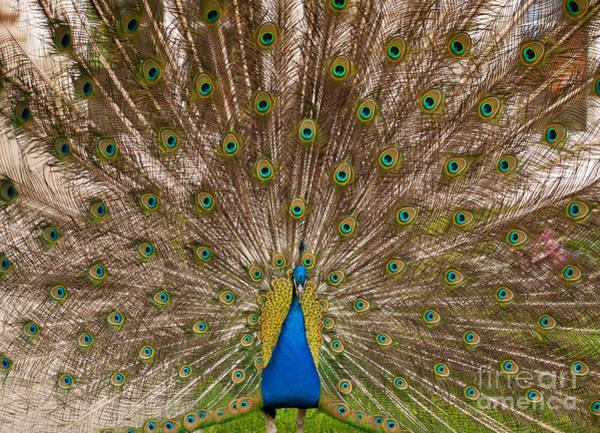 Wall Art - Photograph - Peacock Display Colourful Tail by Arletta Cwalina