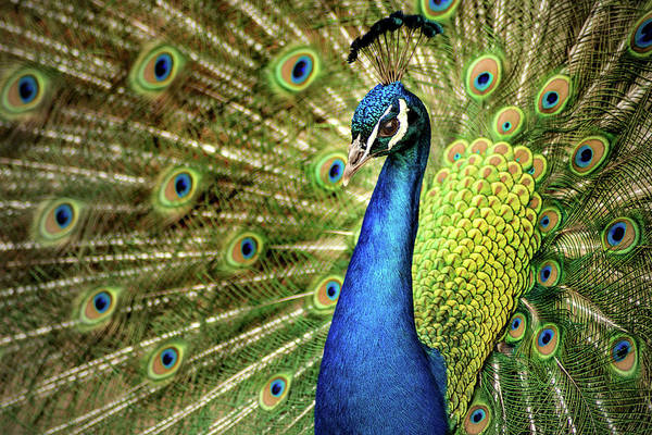 Photograph - Peacock Display by Don Johnson