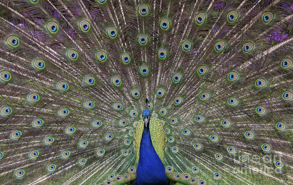 Peacock Photograph - Peacock Display by Tim Gainey