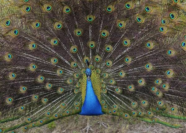 Photograph - Peacock Displaying Feathers by Bradford Martin
