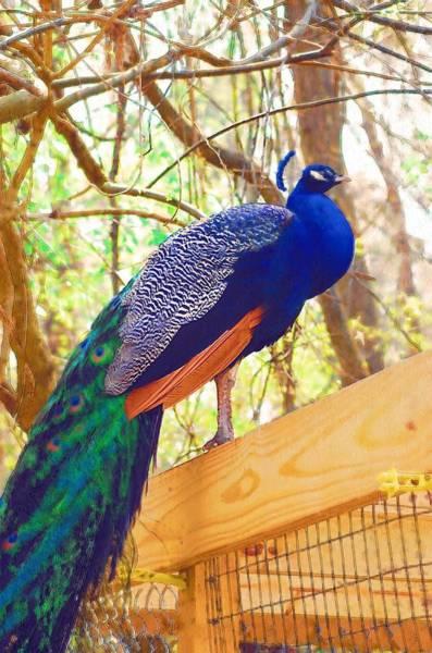 Photograph - Peacock by Donna Bentley