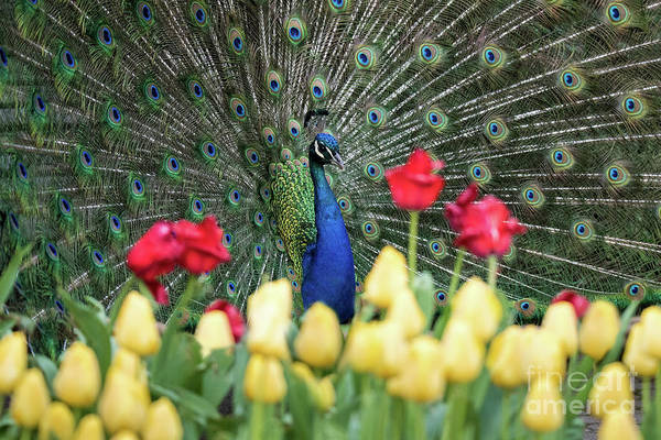 Photograph - Peacock by Ed Taylor