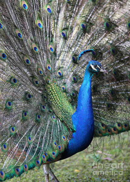 Photograph - Peacock Fan by Carol Groenen