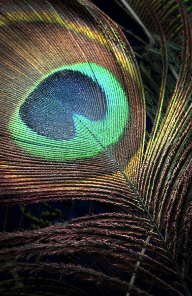 Photograph - Peacock Feather by Rudy Umans