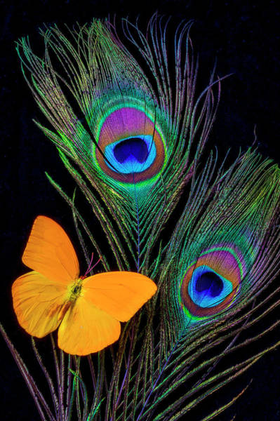 Peacock Photograph - Peacock Feathers And Butterfly by Garry Gay