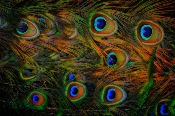 Photograph - Peacock Feathers by Harry Spitz