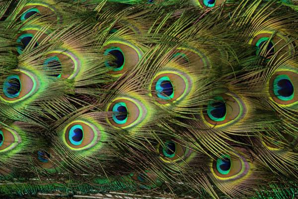Wall Art - Photograph - Peacock Feathers by Iris Richardson