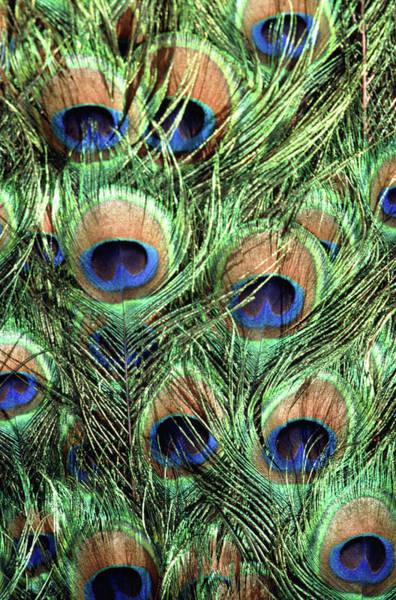 Wall Art - Photograph - Peacock Feathers by John Foxx