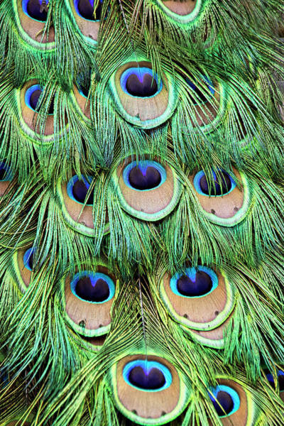 Photograph - Peacock  Feathers by Peggy Collins