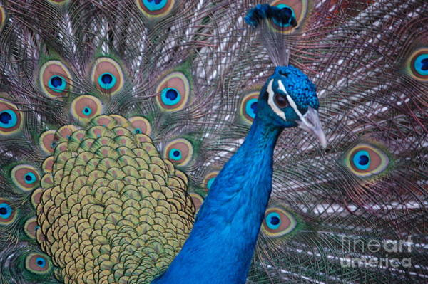 Photograph - Peacock by Frank Stallone