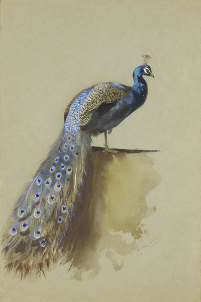 Mixed Media - Peacock II By Thorburn by Archibald Thorburn