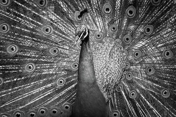 Photograph - Peacock In Black And White by T A Davies