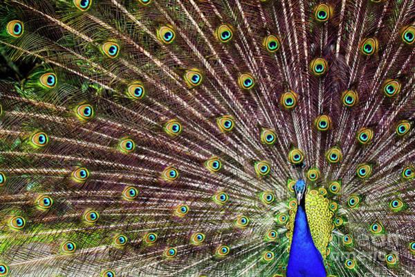 Photograph - Peacock In Full Display by Marcel van Kammen