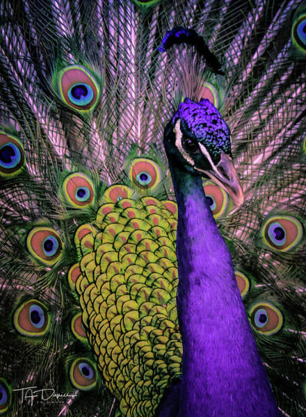 Photograph - Peacock In Purple 2 by T A Davies