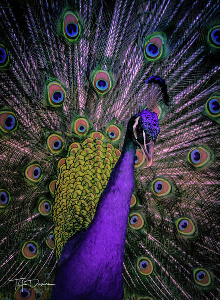 Photograph - Peacock In Purple by T A Davies