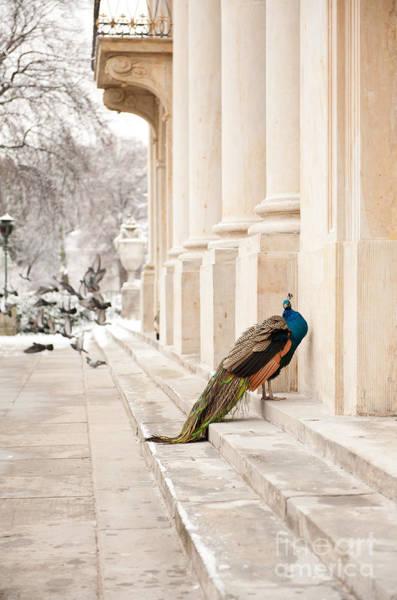 Wall Art - Photograph - Peacock In Winter by Arletta Cwalina