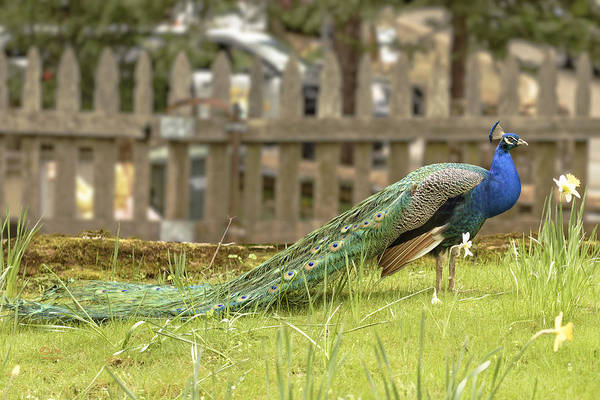 Photograph - Peacock by Jim Thompson