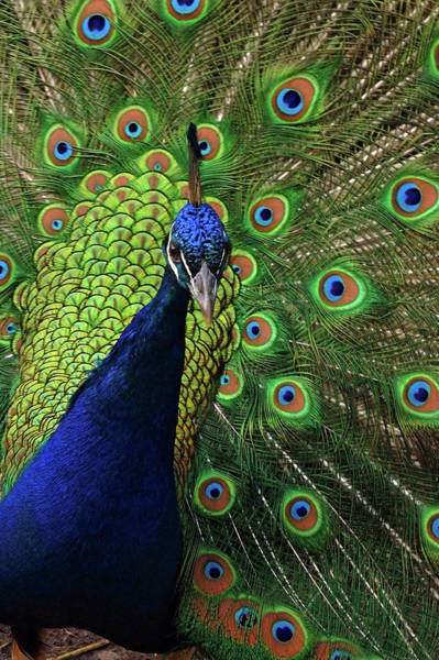 Wall Art - Photograph - Peacock by Laura Mountainspring