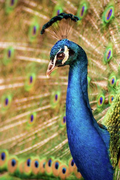 Photograph - Peacock Macro by Don Johnson
