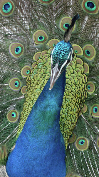 Photograph - Peacock by Matthew Bamberg