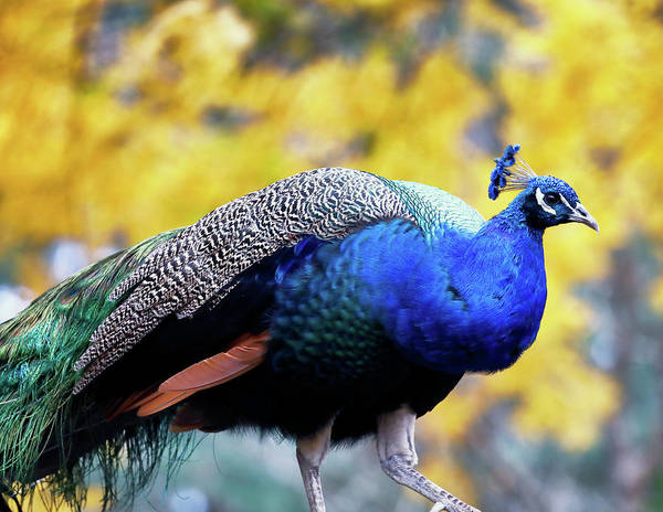 Photograph - Peacock by Nicholas Blackwell