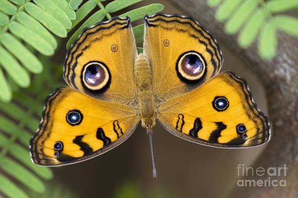 Photograph - Peacock Pansy Butterfly by Tim Gainey