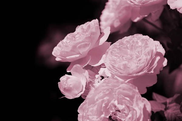 Botanica Photograph - Peacock Pink Cabbage Roses On Black by Colleen Cornelius