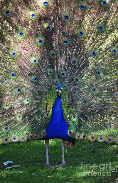 Wall Art - Photograph - Peacock Plumage by Shawn O'Brien