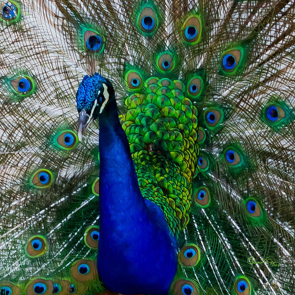 Photograph - Peacock Portrait by Susan Molnar