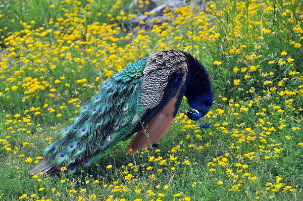 Wall Art - Photograph - Peacock Preening by John Ricker