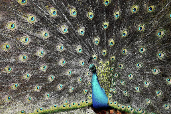 Photograph - Peacock Pride by Randy J Heath