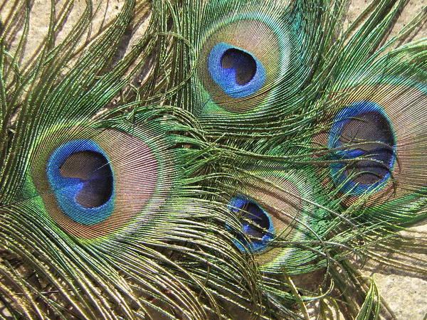 Peacock Quartet Art Print