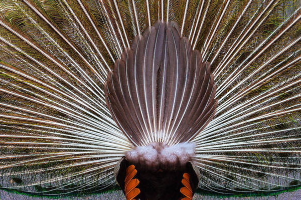 Photograph - Peacock Rear View by Harry Spitz