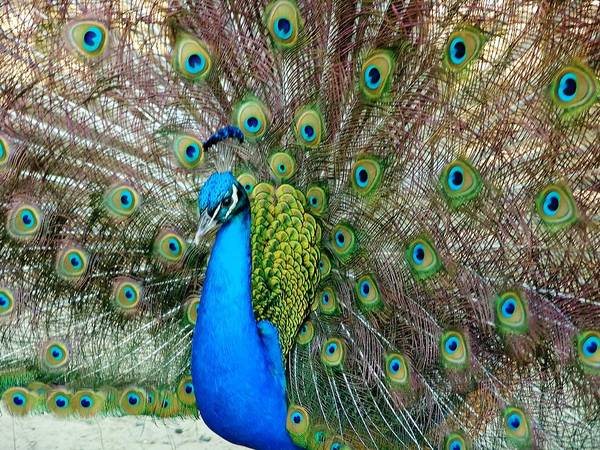 Photograph - Peacock by Ree Reid