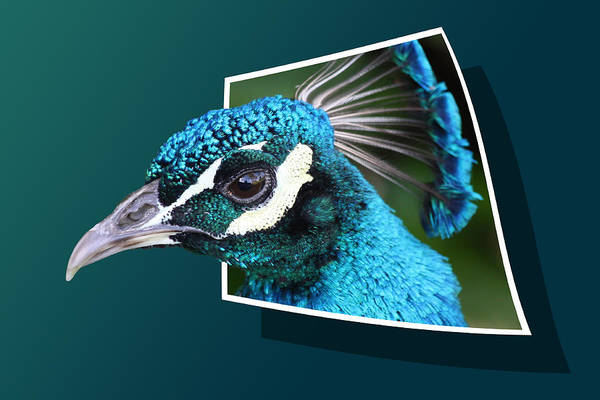 Photograph - Peacock by Shane Bechler