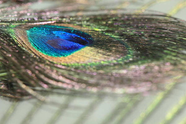 Photograph - Peacock Sparkles And Stripes by Angela Murdock
