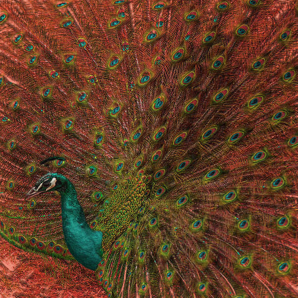 Peafowl Painting - Peacock Spread by Jack Zulli