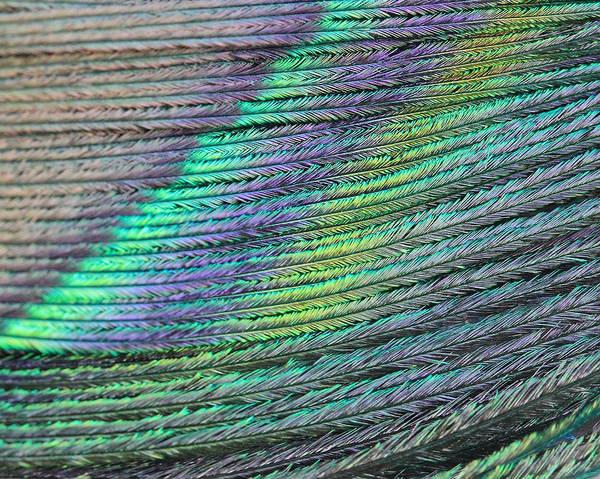 Peacock Stripes Art Print