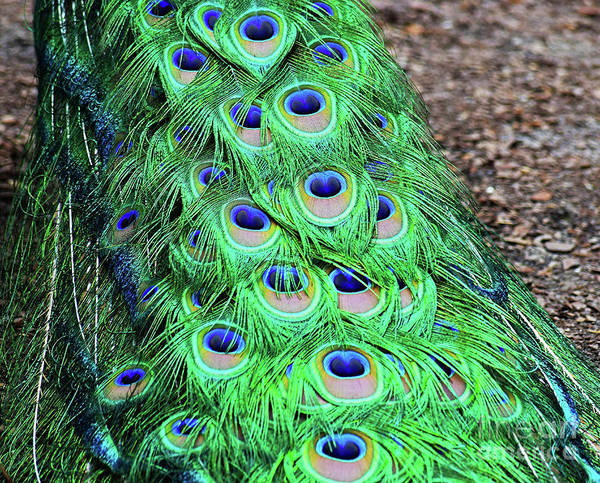 Photograph - Peacock Train by Patti Whitten