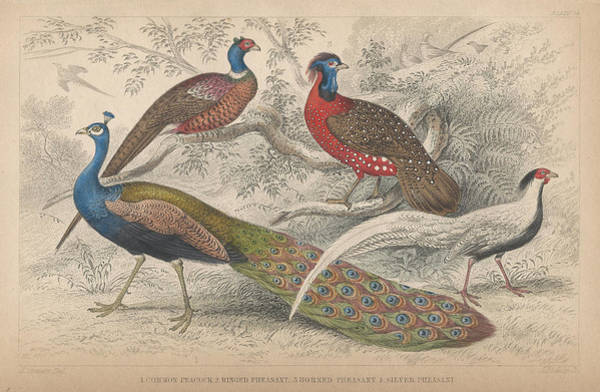 Peacock Drawing - Peacocks by Dreyer Wildlife Print Collections