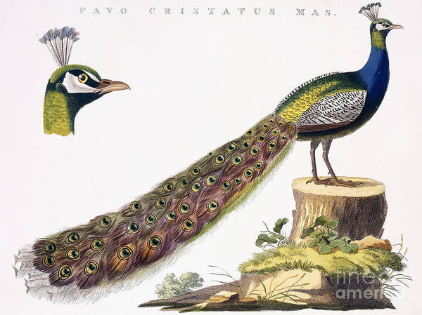 Peacock Drawing - Peafowl by Jan Christiaen Sepp