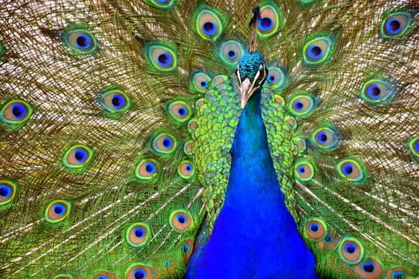Brillante Photograph - peafowl or Peacock by HQ Photo