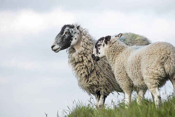 Ovine Photograph - Peak District Sheep by David Taylor