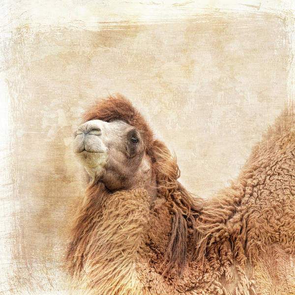 Photograph - Peaks And Valleys Camel Art by Jai Johnson