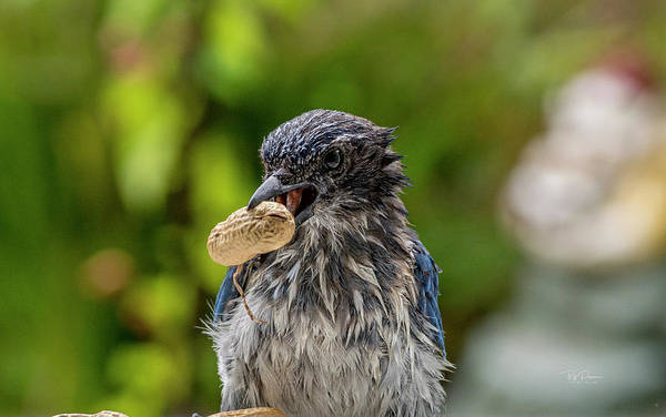 Photograph - Peanut Hunter by Bill Posner