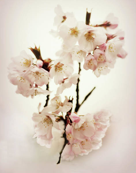 Wall Art - Photograph - Pear Blossom Blush by Jessica Jenney